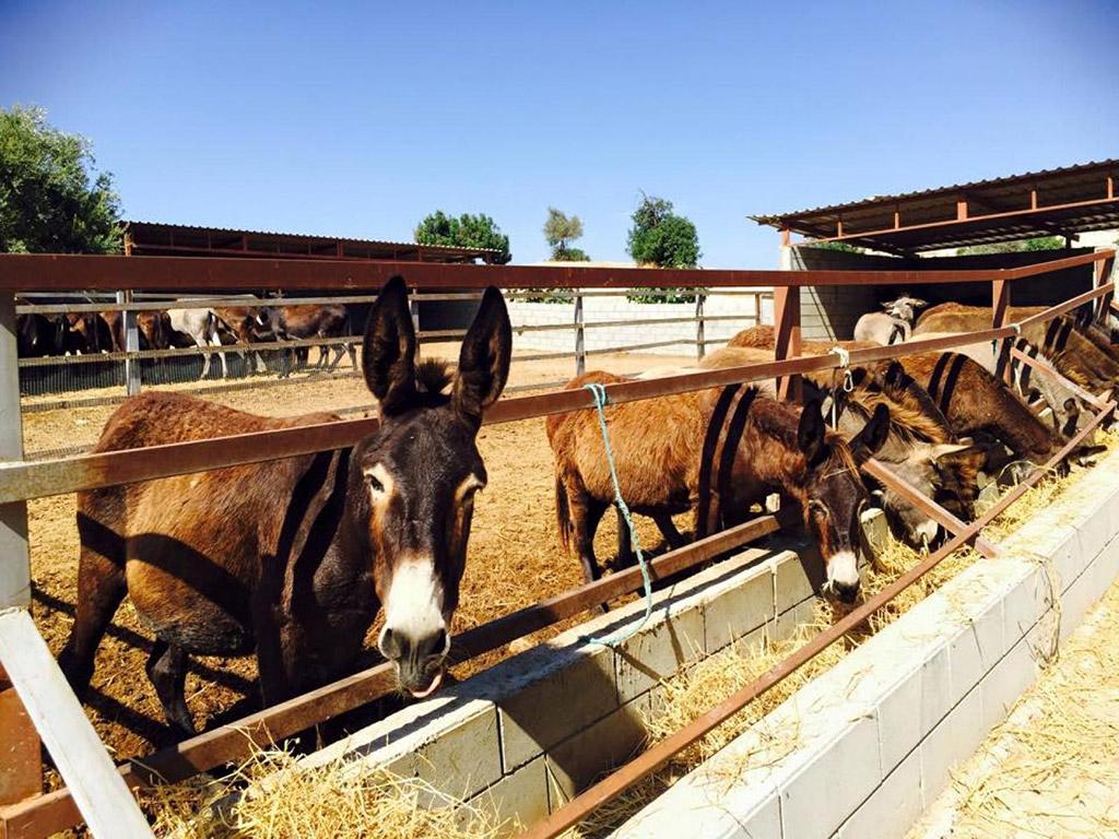 Farma zlatnih magaraca Kipar