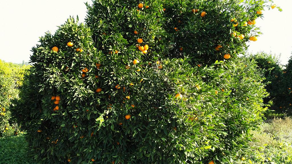 Narandze pomorandze Kipar