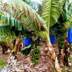 Banane Pafos Kipar