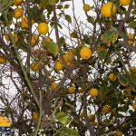 Stablo limuna Larnaka Kipar