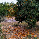 Narandze Pafos Kipar