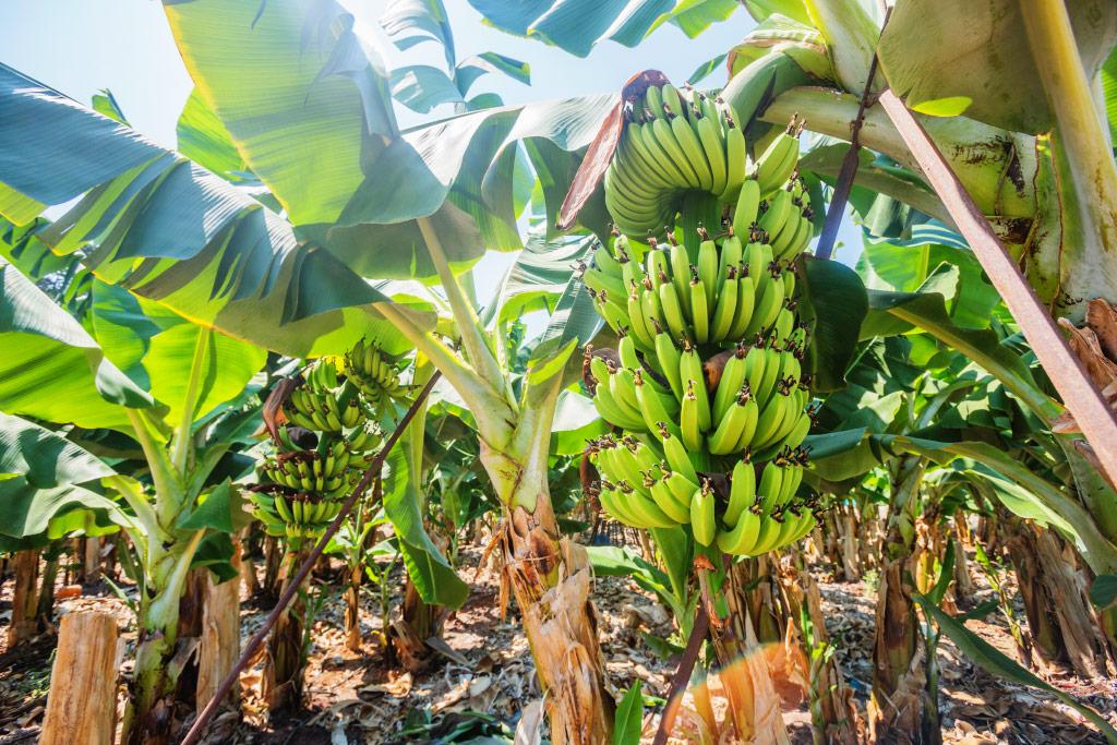 Banane na Kipru